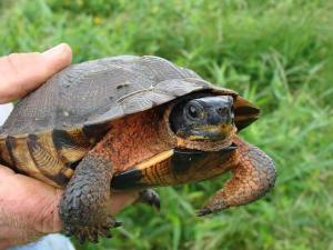 "Wood turtles are listed as a ""threatened"" species. Photo: Nick Vander Puy"
